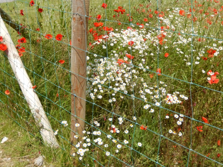 Poppies in the field.